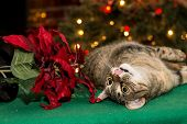 Cat Playing with Poinsettia