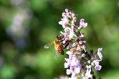 picture of catnip  - European Honey Bee On Catnip Flower In Sun - JPG