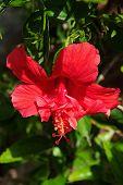 Red Gibiskus