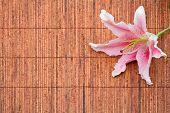 Arranjo de lírio de Stargazer (lilium Stargazer) rosa