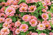 Close Up Zinnia Pink Flower Background