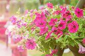 Close Up Petunia Plant In Garden.