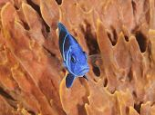 Indigo Hamlet In Front Of A Barrel Sponge