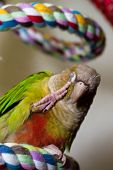 Green Cheek Conure On Rope Perch