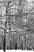 pic of birchwood  - snowy tree branch and birch woods in winter - JPG