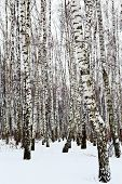 picture of birchwood  - white birch trunks in snow covered forest - JPG