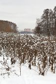 Snow-covered Thistles Bushes In Urban Park