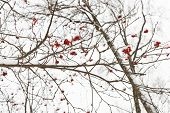 Frozen Bunches Of Red Rowan Berry On Tree