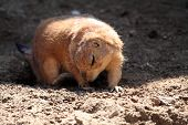 Prairie dog looking down poster
