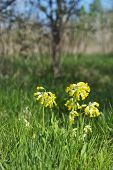 stock photo of cowslip  - A close up image using a shallow depth of field to isolate wild flowers - JPG