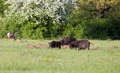 image of deer family  - Herd of wild boars with cute piglets walking on meadow with spring flowers red deer hinds in background - JPG
