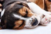 stock photo of puppy eyes  - Beagle Puppy - JPG
