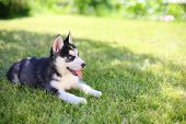 stock photo of little puppy  - Little puppy husky lying on the green lawn - JPG