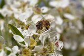 foto of pollen  - Honeybee harvesting pollen from blooming flowers - JPG