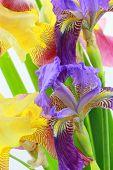 image of purple iris  - Purple and yellow iris flowers on white background - JPG