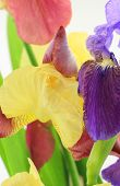 stock photo of purple iris  - Purple and yellow iris flowers on white backgroun - JPG