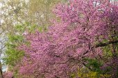 picture of judas tree  - Spring flowering Judas Tree bright purple flowers and small leaves on the stem - JPG