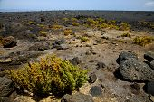 pic of volcanic  - plant flower bush timanfaya in los volcanes volcanic rock stone sky hill and summer lanzarote spain - JPG