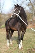 picture of pony  - Portrait of black welsh mountain pony with halter - JPG