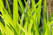 image of day-lilies  - Bright vivid green blades of wild lily foliage - JPG
