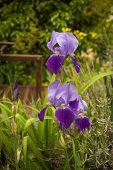 stock photo of purple iris  - Image beautiful purple irises in a garden Northern Greece - JPG