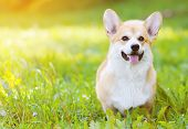 stock photo of corgi  - Happy dog Welsh Corgi Pembroke on the grass in summer sunny day - JPG