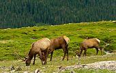 Bull Elk In The tundra