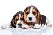 foto of puppy beagle  - The two beagle puppies lying on the white background - JPG