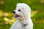 picture of bichon frise dog  - cute small bichon sitting in grass in the park notice: shallow depth of field