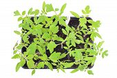 image of tomato plant  - Tomato seedlings in a pot isolated on white background - JPG