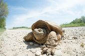 stock photo of mud  - Common snapping turtle covered in dried mud crossing a country gravel road - JPG