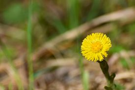 foto of stepmother  - Yellow dandelion flower close up on blurred background - JPG