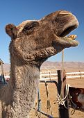 Head Shot of a Camel