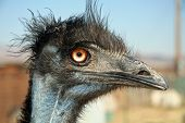 Emu Head Shot