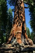 Der Grizzly Giant, Mariposa Grove