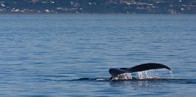 image of whale-tail  - Water rolls off the tail of a humpback whale with Homer Alaska in the distance - JPG