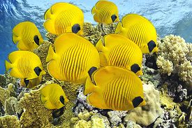 stock photo of butterfly fish  - School of butterfly fishes over healthy reefs of Red Sea - JPG