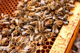 picture of honeycomb  - Busy bees close up view of the working bees on honeycomb - JPG