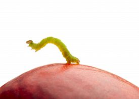 stock photo of inchworm  - Macro of inchworm on red peach isolated on white - JPG