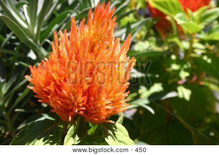 Orange Furry Flower poster