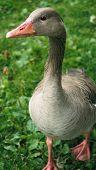 Norwegian Goose